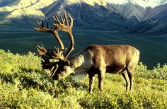 Caribou hooves change with the seasons. They are wider and softer in the spring to allow more traction, and harder in the winter to dig into ice and frozen ground.