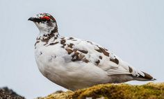 The Rock Ptarmigan (Lagopus muta) is a medium-sized gamebird in the grouse family. Description from birdz-world.blogspot.com. I searched for this on bing.com/images