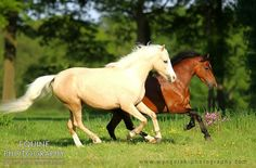 Welsh Pony (section B) mare HSH First Lady (palomino)