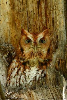 Eastern Screech Owl by Anupam Dash