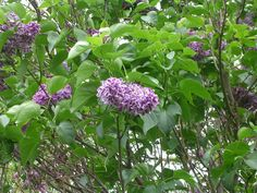 'Sensation' lilac, an edible flower.  All lilacs are edible.  The more fragrant ones are the better tasting.  This one has a lilac center with a white edge.