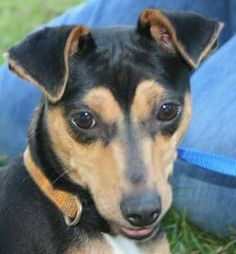 Tootsie is a 1 to 2 year old female min-pin mix, about 15 pounds. She's a happy, friendly girl, very playful and energetic. Tootsie loves to snuggle and share sweet kisses, she has lots of love to give.  In Chipley FL shelter, 850-638-2082