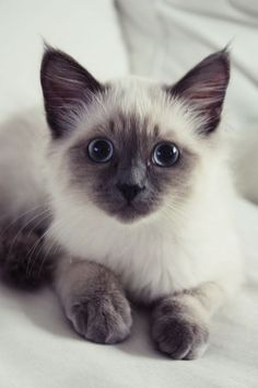 Terrific Free siamkatze siamese cats Tips Siamese kittens and cats might be best renowned for their clean, streamlined our bodies, creamy apparel and also specia Siamese Kittens, Cute Cats And Kittens, Baby Cats, Cool Cats, Kittens Cutest, Funny Kittens, Bengal Cats, Ragdoll Cats, Kittens Meowing