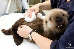 Baby sea otter <3