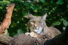 Das Bundesamt für Umwelt BAFU hat die zwei Konzepte Wolf und Luchs veröffentlicht.