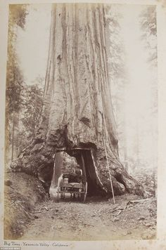 The album offers an incredible snapshot of history and a moment in time that has long since passed. This sepia-toned snap shows a horse-drawn cart driving through a hollowed out big tree in the Yosemite Valley, California. The identity of the wagon driver is unknown!!