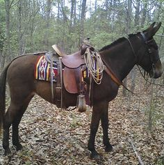 Would love to own a saddle mule- it is said they eat less and are healthier, stronger, and smarter than horses.