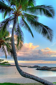 Palm Tree Sway I Ko'Olina, Oahu, Hawaii