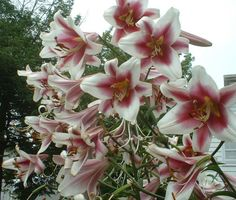 Lilies from the Garden.