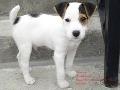 Another pic of Charley :) my Jack Russell Terrier puppy
