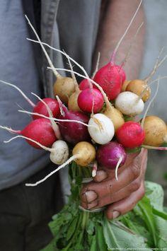 Le radis est un légume-racine de la famille des brassicacées. Le radis demi-long bicolore est une spécificité française. Partout ailleurs, le radis est majoritairement rond et tout rose. Il en existe de multiples variétés : noir et rond, rose de Chine, daïkon blanc, malaga violet, zlata jaune, dragon rouge, violet de Gournay… En Europe, on consomme souvent les radis roses en crudités. Ils se mangent accompagnés de pain et de beurre ou en salades. On les trouve cependant de plus en plus…