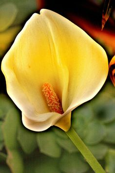 Core of the Heart by Music of the Heart Calla Lilly, yellow flower, flower, garden