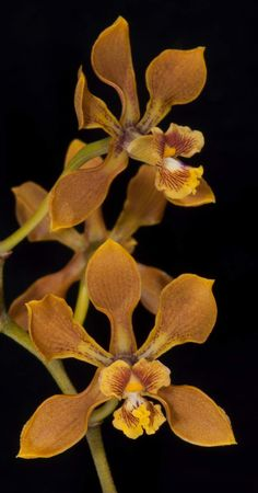 Encyclia diota by Asociation Mexicana de Orquiodologia #orchid #orchids #orchidaceae #encyclia