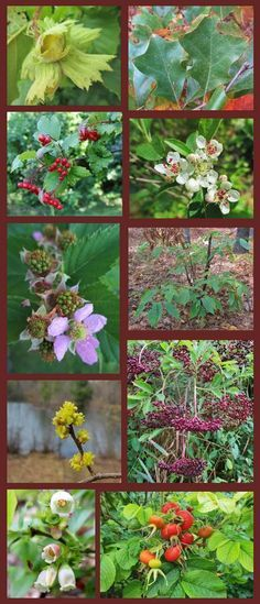 Much more than just a list, this contains a lot of information about the wildlife value and edible parts of 10 beautiful native shrubs. Forage for their fruits and nuts from the wild, or transform your yard into a food producing wildlife sanctuary. Excellent perennial food sources for the permaculture garden.