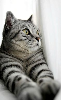 Tabby Cats Grey Cute Calico Kittens That Will Bring Your Dead Heart Back To Life Pretty Cats, Beautiful Cats, Animals Beautiful, Pretty Kitty, Baby Cats, Baby Animals, Cute Animals, Animals Images, Cute Kittens