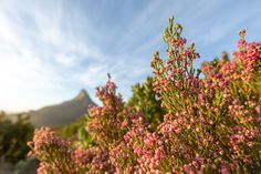 Photograph by Sacha Specker President Hotel, King Protea, Spring Flowers, West Coast, Cape, Photograph, Bloom, Earth, Inspired