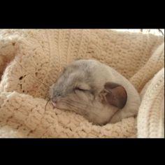 Baby white chinchilla, Cheech, sleeping. So cute <3