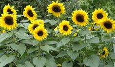 https://reyrahayu.files.wordpress.com/2010/11/6_sunflowers_in_our_garden1.jpg   http://go.ad2up.com/afu.php?id=593357