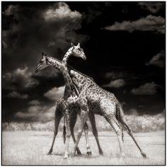 Giraffes by Nick Brandt #inspiration #fotografia #bw #nature #power #africa #wild #bn #animals #life #love