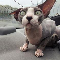 Furless cat