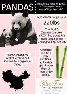 "Did you know that the Chinese refer to the giant panda as ""daxiongmao,"" or large bear cat?  More interesting facts on our infographic."