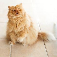 Meet Garfi The Worlds Angriest Cat By Httpwwwfunnynlolcom - Garfi is officially the worlds angriest cat