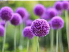 Purple Allium.