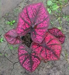 Details about Caladium 1 Bulb Queen of the Leafy Plants Srithepharak Colourful Tropical Thai Caladiu Leafy Plants, Foliage Plants, Shade Plants, Cactus Plants, Garden Plants, House Plants, Patio Plants, Indoor Plants, Tropical Garden