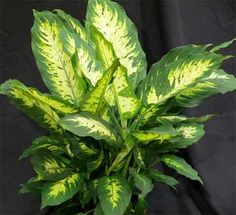 """Learning Dieffenbachia care is easy and a good way to get started with the basics of indoor houseplant care. There are many varieties of """"dumbcane"""" on the market, ranging from some small almost dwarf type varieties to the large Dieffenbachia amoena. """"Dieffs"""" can be grown for years... #fal #spr #sum"""