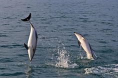 Photo of acrobatic Dusky Dolphins, during a dolphin watching tour with Encounter Kaikoura, Canterbury, New Zealand.