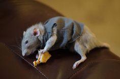 My old lady enjoying some hooman food #aww #cute #rat #cuterats #ratsofpinterest #cuddle #fluffy #animals #pets #bestfriend #ittssofluffy #boopthesnoot