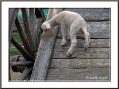 Les petits moutons de La Crau http://mistoulinetmistouline.eklablog.com/