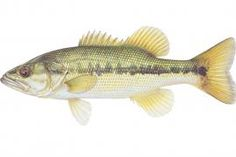 Spotted Bass | Missouri Department of Conservation
