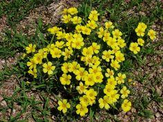 Vinagrillo (oxalis sp. )
