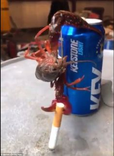crazy viral video of a crawfish hanging on a beer can having a smoke goes viral -  Twitter user captures the video of the crazy crawfish on a Keystone beer can  Crawfish lifts a cigarette over and over--looks like he's smoking it!  Spring is crawfish season in New Orleans where the video was shot  By Daily Mail Online Reporter  Published: 01:26 EDT 24 March 2018 | Updated: 01:33 EDT 24 March 2018  A New Orleans crawfish boil is a chance to hang out with your friends have a beer and maybe a…