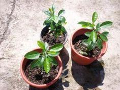 5 Pasos simples para crecer semillas de Manzana - Vida Lúcida