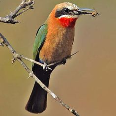 White-fronted Bee-eater, Kruger National Park