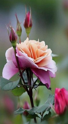 Flowers Nature, Exotic Flowers, Amazing Flowers, Love Flowers, Fall Flowers, Flowers Garden, Fresh Flowers, Pretty Roses, Beautiful Roses