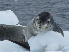 The Smiling Leopard Seal