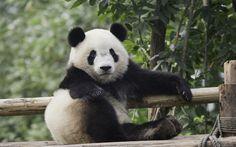 Lataa kuva panda, karhut, söpöjä eläimiä, eläintarha, hauskoja eläimiä