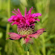 Bergamot is more than a pretty flower...