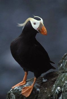 Tufted Puffin Tufted puffins can be found along the Pacific coast from Oregon to Alaska. They hunt underwater, diving as deep as 200 feet and using their wings to propel themselves through the water. True creatures of the sea, they even eat underwater, and spend much of their lives on the open ocean.
