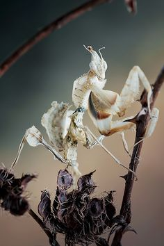 Idolomantis diabolica, Devil's Flower Mantis by Alextkt