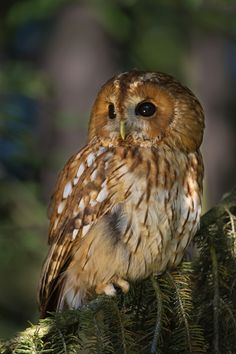 Tawny Owl - I saw one of these at Reptile Gardens last month and fell in love!