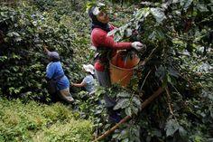 manos de café http://www.eltiempo.com/colombia/eje-cafetero/la-paz-donde-el-cafe-lo-cosechan-manos-de-mujer_13120295-4