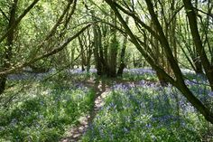 Norfolk Wildlife Trust - Foxley Wood. Foxley Wood is the largest area of ancient woodland now remaining in Norfolk. The wood is exceptionally rich in flora, with over 250 different species recorded, including herb Paris, early purple orchid, lily of the valley and several uncommon trees.