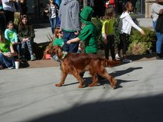 Saint Patrick's Day Parade in Salt Lake City, Utah 3/12/2016 Irish Setter~