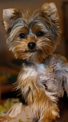 Teacup Yorkie, Teacup Puppies, Cute Puppies, Cute Dogs, Yorkshire Terrier Haircut, Yorkshire Terrier Puppies, Teacup Dog Breeds, Yorkie Puppy, Chihuahua