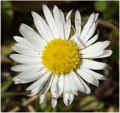 Margarida em miniatura   Fotografia de Daniele Dallavecchia   Olhares.com