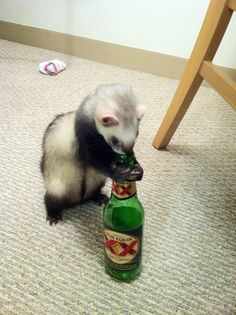 (not mine but cute lol) I don't always let my ferret drink, but when I do it's Dos Equis. :)